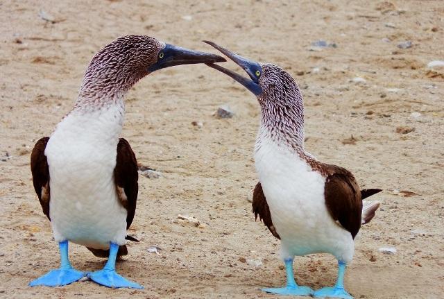 piquero patas azules